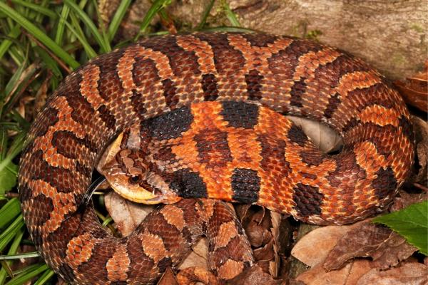 Eastern Hognose Snake (Heterodon platirhinos) | Wayne Co., Missouri