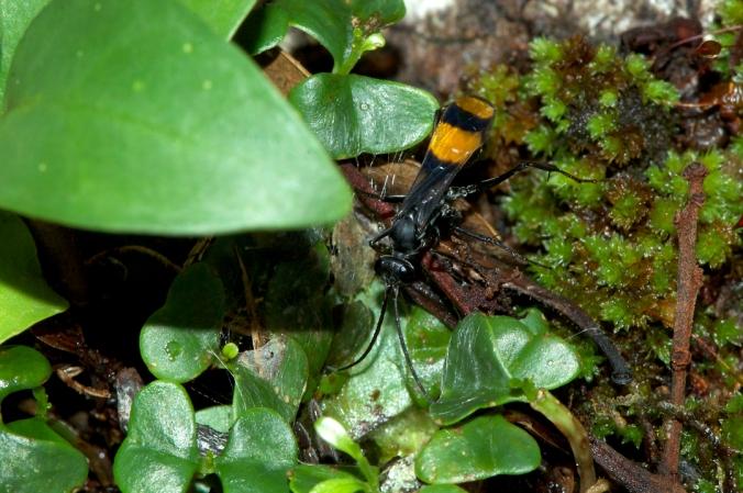 The model: Pogonius venustipennis