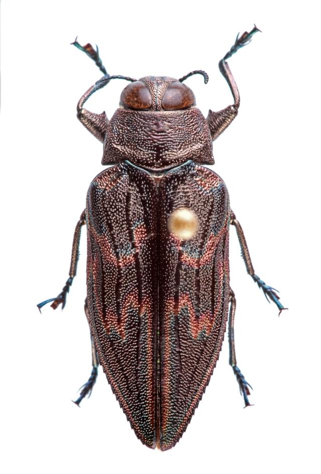 "Actenodes calcaratus | MEXICO: Guerrero, Hwy 95, 5 km S Milpillas, 7.vii.1992, ""big dead tree"", G. H. Nelson [FSCA]. Male plesiotype."