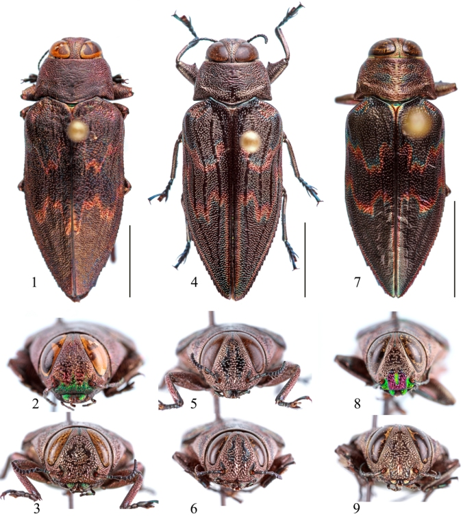 """Figs. 1–9. Actenodes spp. 1–3. Actenodes scabrosus. 1–2. Male holotype. 1. Dorsal habitus. 2. Frontal view. 3. Female paratype (Guerrero). 4–6. A. calcaratus. 4–5. Male (MEXICO, Guerrero, Hwy 95, 5 km S Milpillas, 7.vii.1992, """"big dead tree"""", G. H. Nelson [FSCA]). 4. Dorsal habitus. 5. Frontal view. 6. Female (MEXICO, Hwy 95, 2 km S Milpillas, 6.vii.1992, on Acacia farnesiana, G. H. Nelson [FSCA]), frontal view. 7–9. A. michoacanus. 7–8. Male holotype. 7. Dorsal view. 8. Frontal view. 9. Female paratype, frontal view. All scale bars = 5 mm."""