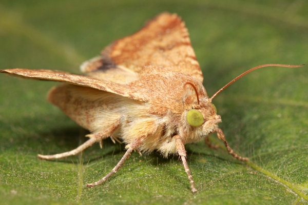 Helicoverpa gelotopeon (South American bollworm) | Buenos Aires Province, Argentina