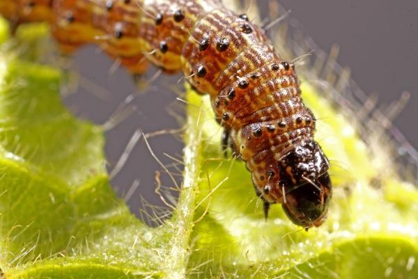 A mid-instar larvae feeding on soybean foliage.