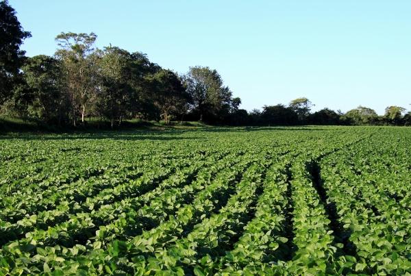 Soybeans, Tucumán Province, Argentina.