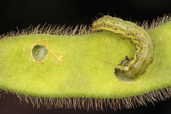 Larger larvae feed on developing pods, breaching the wall of the pod to consume the seeds within.