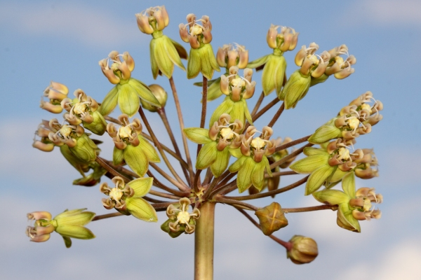 A single inflorescence atops each stem.