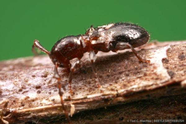 Cyrtinus pygmaeus