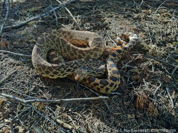 Bullsnake (Pituophis catenifer sayi) | Alabaster Cavern State Park, Woodward Co., Oklahoma