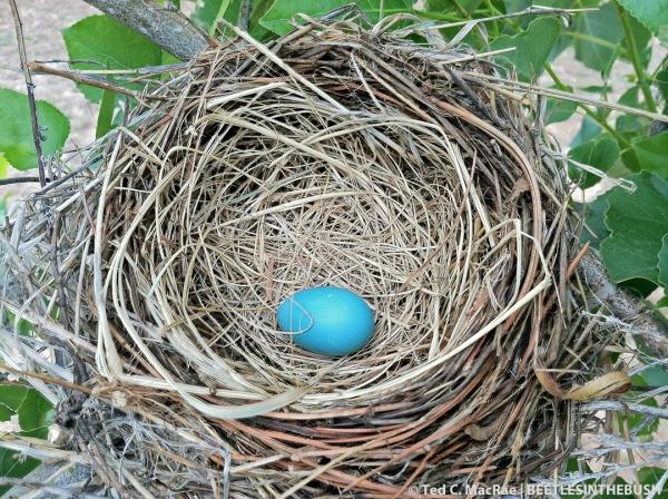 American Robin or Gray Catbird nest w/ egg | Beaver Dunes State Park, Beaver Co., Oklahoma