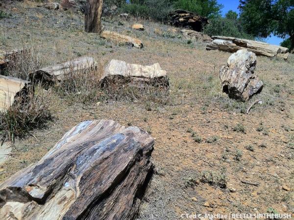 Petrified forest | Black Mesa State Park, Cimarron Co., Oklahoma