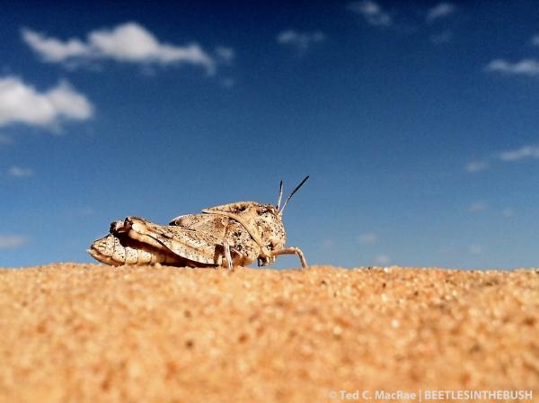 A chunky grasshopper nymph inhabiting the dune