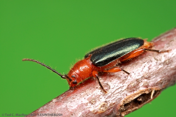 Phymatodes amoenus (Coleoptera: Cerambycidae) | Stoddard Co., Missouri
