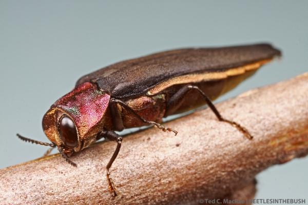 Agrilus fuscipennis