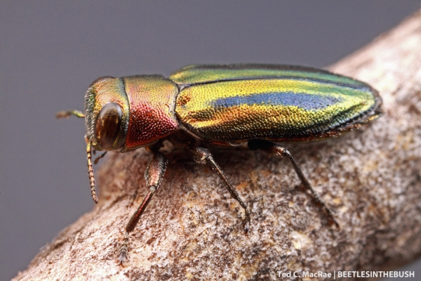 Chrysobothris purpureovittata