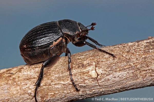 Phyllophaga cribrosa | Gloss Mountain State Park, Major Co., Oklahoma