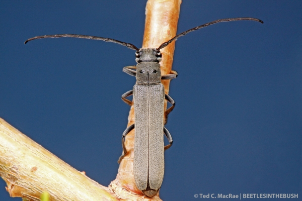 The dark integument and dense, grayish pubescence distinguish this species.