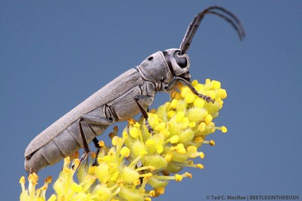 Oberea oculaticollis Say 1824 | Beaver Dunes State Park, Beaver Co., Oklahoma
