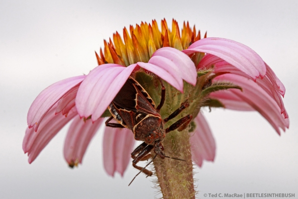 Bee assassin (Apiomerus spissipes) on coneflower (Echinacea sp.) | Gloss Mountain State Park, Major Co., Oklahoma