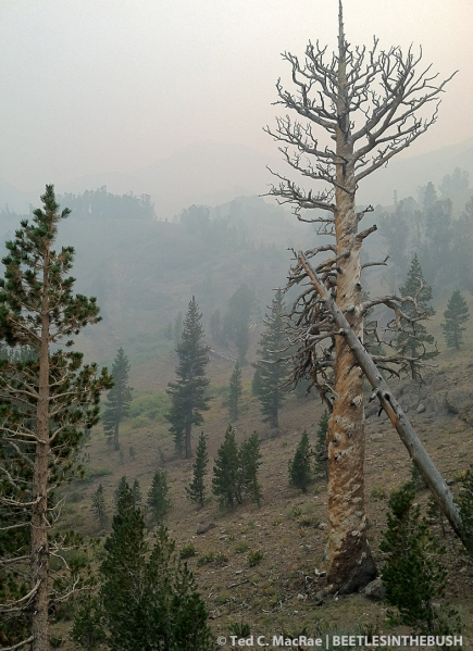Pinus contorta murrayana