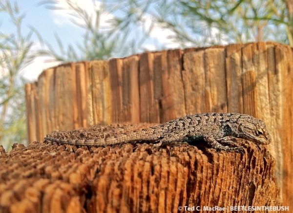 Great Basin fence lizard (Sceloporus occidentalis longipes)
