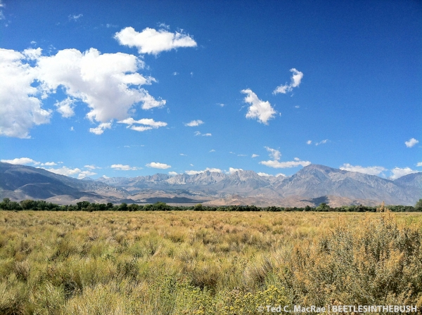Sage grassland and gray rabbitbrush dominate the Owens Valley where C. coralinus caeruleipennis is found.