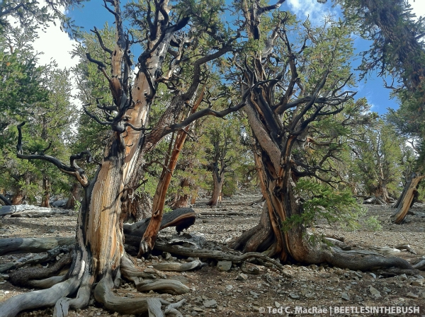 Pinus longaeva (bristlecone pine)
