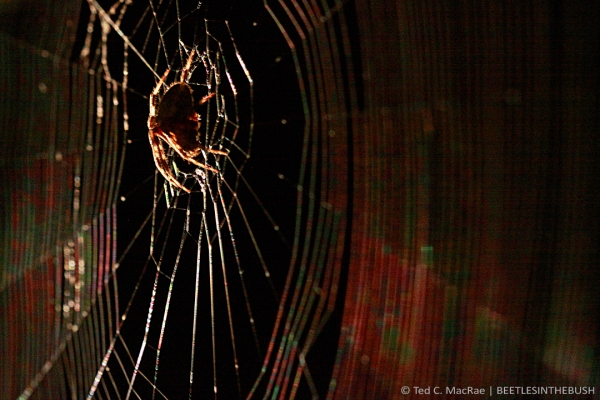 Araneus sp. | Wildwood, St. Louis Co., Missouri