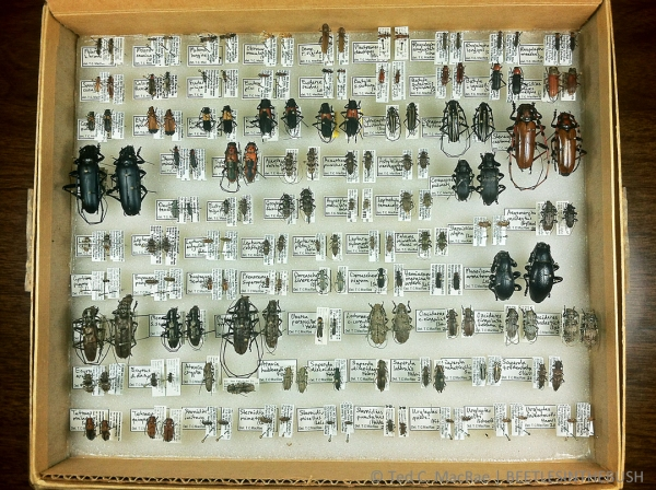 How To Pack And Ship Pinned Insect Specimens Beetles In