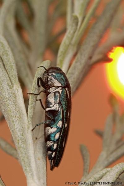 Agrilus walsinghami (female) | Washoe Co., Nevada