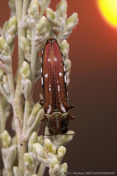 Agrilus walsinghami (male) | Washoe Co., Nevada
