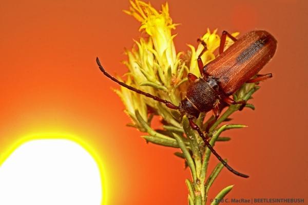 Crossidius hirtipes macswainei (female) | Lyon Co., Nevada