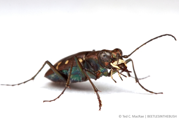 Cicindela oregona oregona | Topaz Lake, California