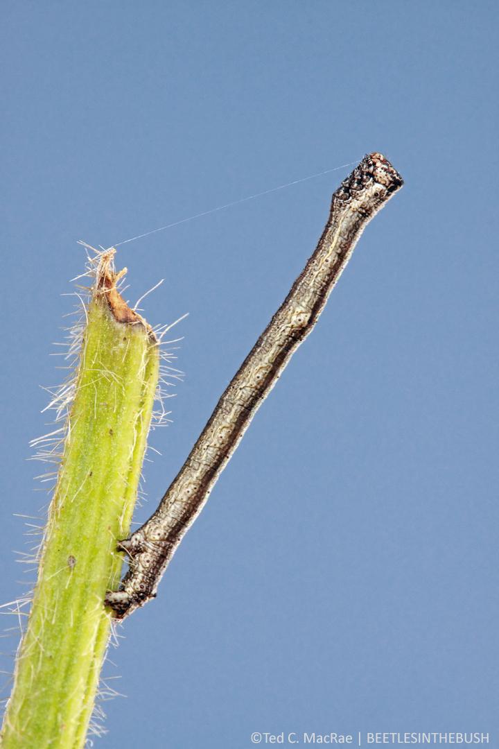 Geometrid larva (subfamily Ennominae?) | Plymouth, North Carolina