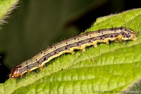 Spodoptera frugiperda (fall armyworm) | Jerseyville, Illinois