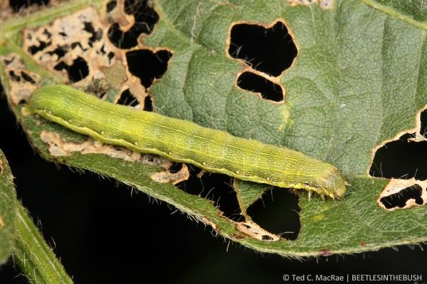 Spodoptera exigua (beet armyworm) | Stoneville, Mississippi