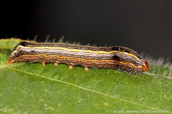 Spodoptera cosmioides (black armyworm) | Acevedo (Buenos Aires Prov.), Argentina