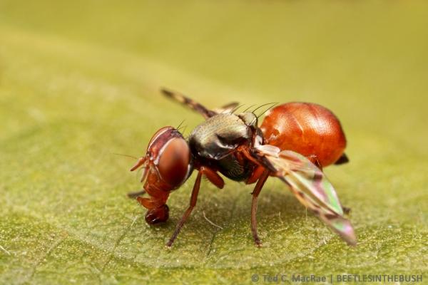 Rivellia quadrifasciata (soybean nodule fly) | Stoneville, Mississipi