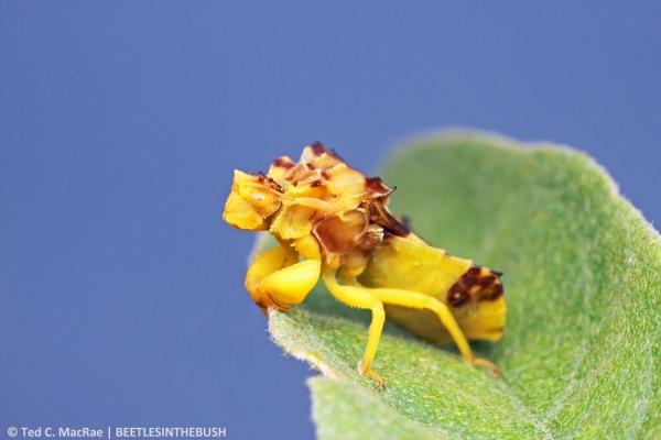 Phymata sp.