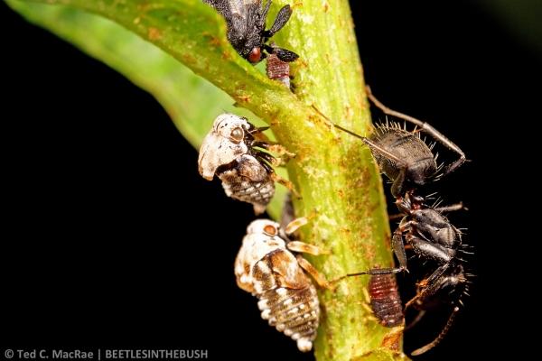 Bolbonota sp. nymphs tended by Camponotus sp. | Campinas, São Paulo, Brazil.