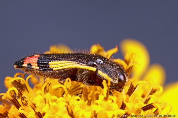 Acmaeodera flavomarginata