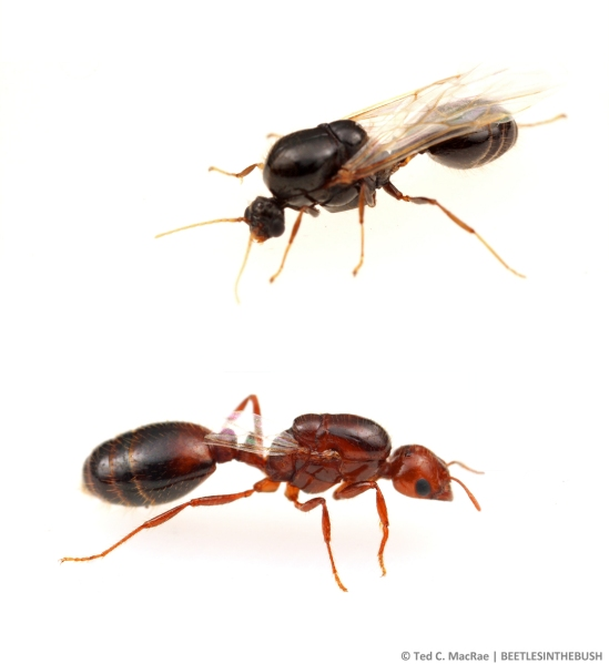 Solenopsis invicta winged reproductives: male (top), female (bottom).