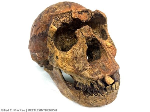 "KNM-WT 15000, ""Nariokotome/Turkana Boy"" (Homo ergaster)   Nariokotome, West Turkana, Kenya, 1.6 mya"