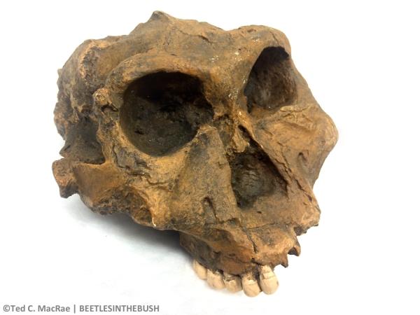 "SK 48 ""Paranthropus crassidens"" (Paranthropus robustus)   Swartkrans, South Africa, 1.8-2.0 mya"