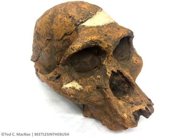 "Australopithecus africanus, ""Mrs. Ples,"" STS-5, Sterkfontein, South Africa, 2.5 mya"
