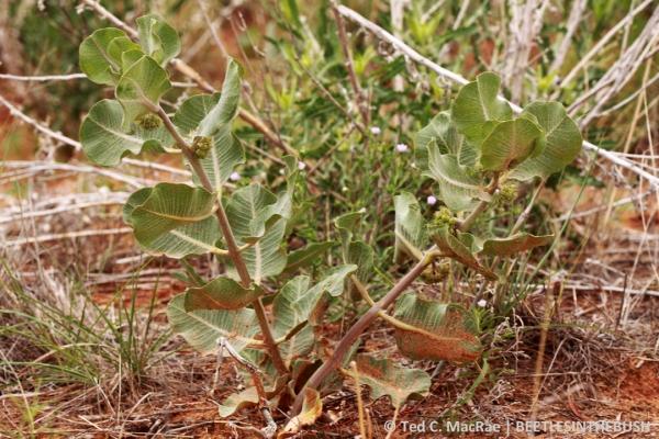 Asclepias arenaria