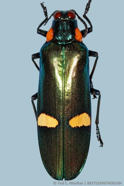 Megaloxantha bicolor palawanica (Kurosawa 1978b:215)