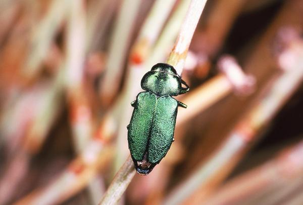 Sphaerobothris (s. str.) platti (Cazier) | 1998,  E. Jacumba, San Diego Co., California, USA.