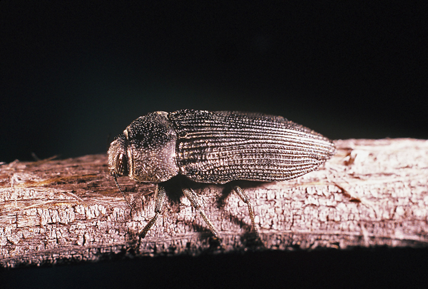 Polycesta (Arizonica) aruensis Obenberger | Apr 2001, Frink Springs, Imperial Co., California, USA.