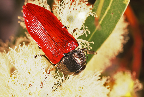 Temognatha chalcodera (Thomson) | Western Australia.