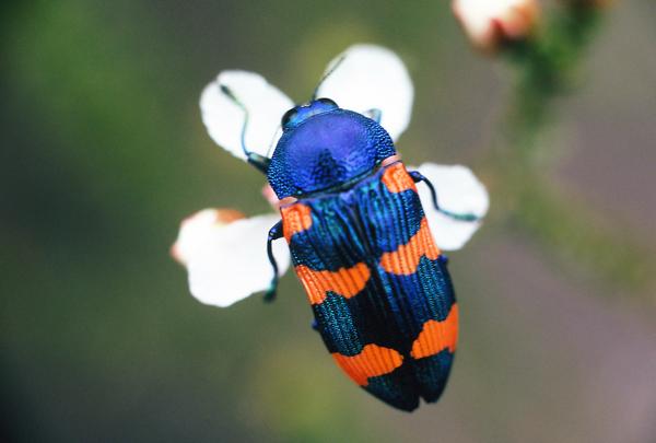 Castiarina klugii (Gory & Laporte) | Australia.