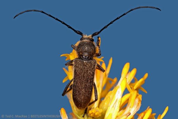 Crossidius ater LeConte | Mono Co., California